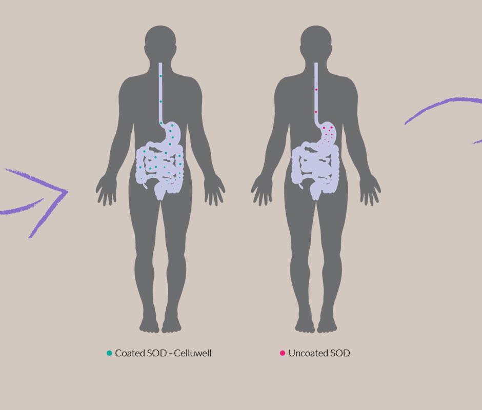 celluwell sod im magen darm trakt eines menschen